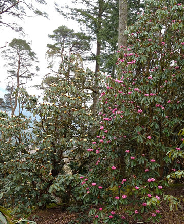 Tall rhododendrons
