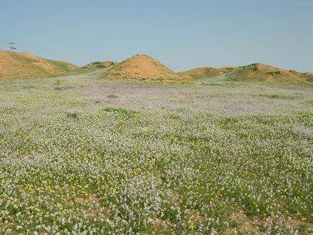 Desert_Wildlfowers_S_of_Urim_IL_2007_02_17_006.jpg