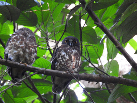 Brown Hawk-Owl (7)