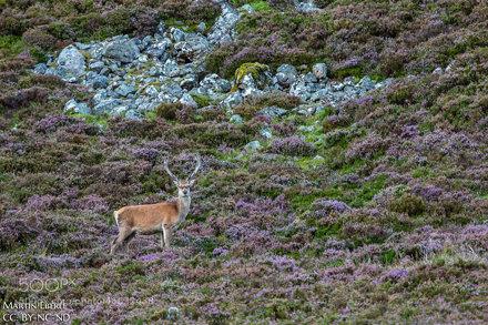 Cairngorms Deer III