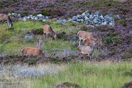 Cairngorms Deer II