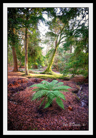Fern in Clyne Gardens 13th Jan 2013