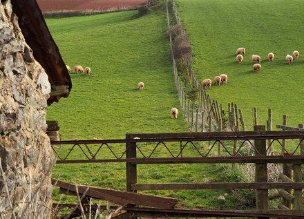 Sheep Butts in Devon
