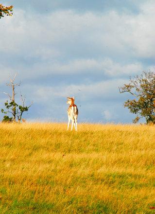 Bambi at Knole!