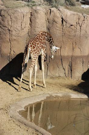 Giraffe (Giraffa camelopardalis), Dallas Zoo
