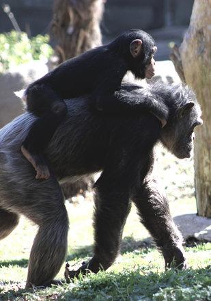 Chimpanzees (Pan troglodytes), Dallas Zoo