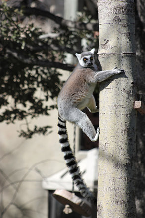 Ring-tailed lemur (Lemur catta), Dallas Zoo