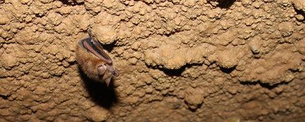 Dwarf Bat in Dixie Caverns