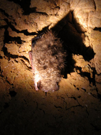 Dixie Caverns - Sleeping Bat