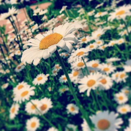 #minsk #минск #желтый#ромашка#белый#цветы #сад #весна #лето #summer #sun #солнце #sundoors