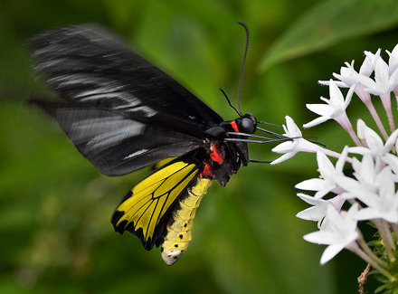 Birdwing Butterfly in flight feeding on Pentas Lanceolata, Wings of the Tropics, Fairchild Tropical