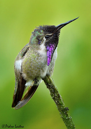 Costa's Hummingbird, Wings of the Tropics, Fairchild Tropical Botanic Garden.