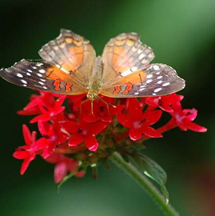Brown, red and white Anartia amathea on red Pentas