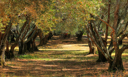 Olive Grove in August