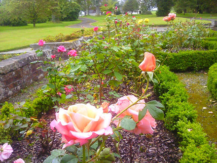Roses at Geilston Gardens in Cardross, western Scotland