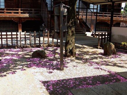 #2394 fallen cherry blossoms (サクラ)