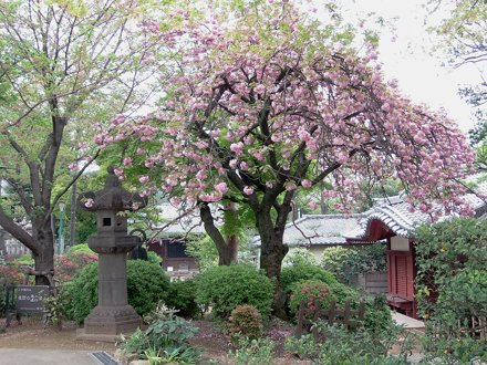 #1388 Oshima cherry blossoms (ヤエザクラ)