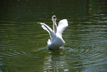 Gorky park. Swan