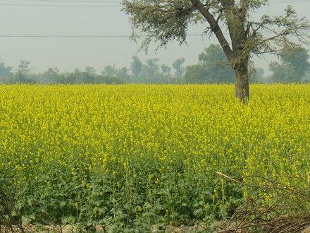 Mustard field, India.