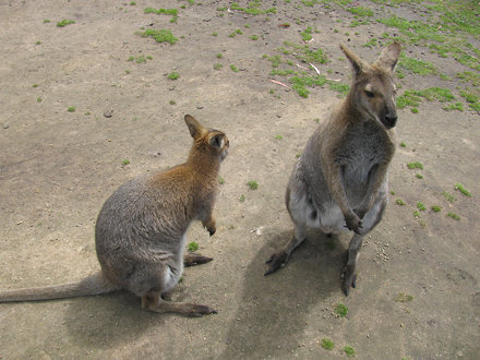 Wallabies at Halls Gap Zoo