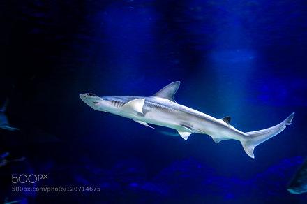 Hammerhai / Hammerhead