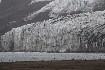 Wilson's Storm-Petrels in front of Baudissin Glacier