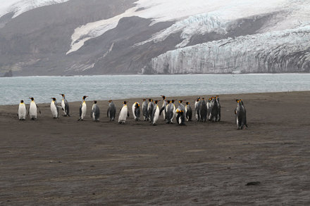 King Penguins at Corinthian Bay