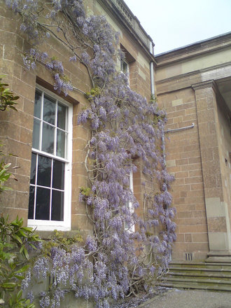 Wisteria at Hillsborough
