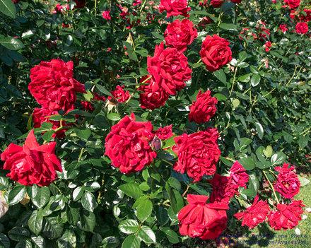 A Red Rose Bush In the International Rose Test Garden