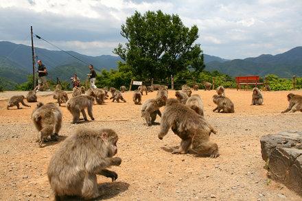 Monkey Park Iwatayama, Feeding time.