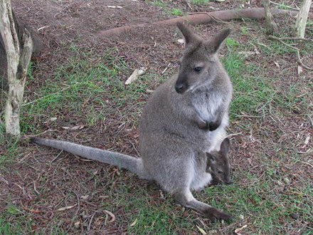 Macropus eugenii (Tammar Wallaby) - captive
