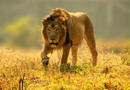 His majesty on the prowl.