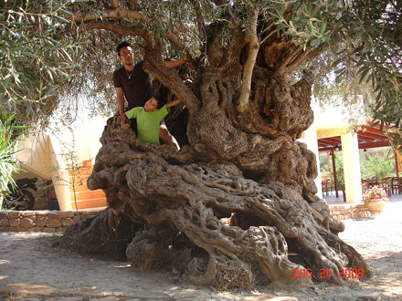 Oldest olive tree in the world in Vouves