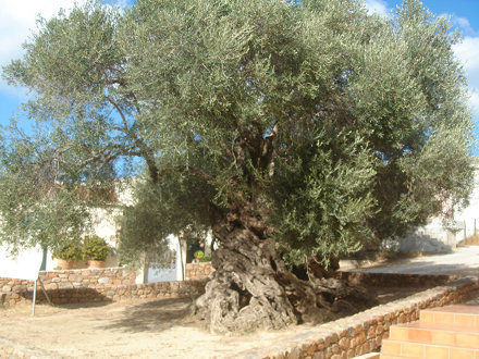 The Monumental Olive Tree of Vouves  SEP  2013 005