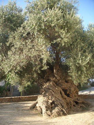 The oldest olive tree in Greece