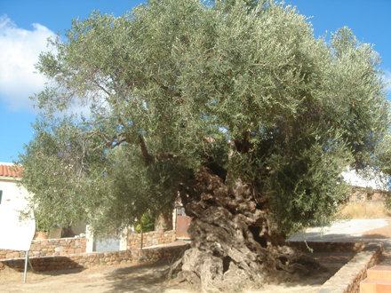 The Monumental Olive Tree of Vouves  SEP  2013 004