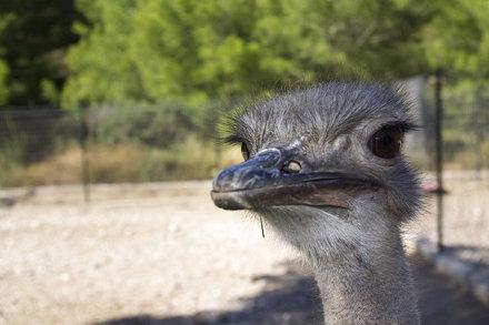 Ostrich - Theologòs - Rhodos Dodekanisou