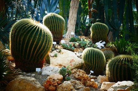 Cactus - Echinocactus grusonii
