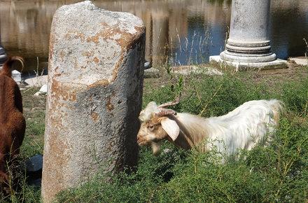 Patara goat