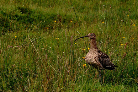 Curlew in grass by Great Asby