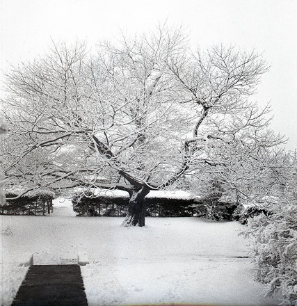 Oak Tree at Petersfield