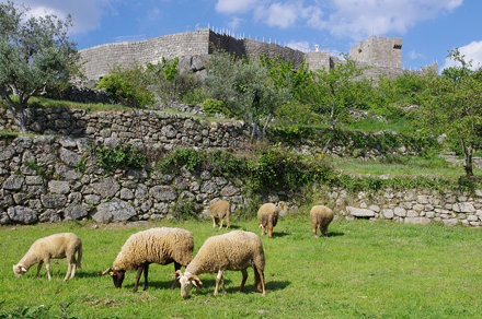 Pinhel Castle and Sheep