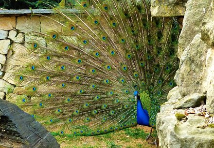 A peacock displaying his plumage in Prague zoo