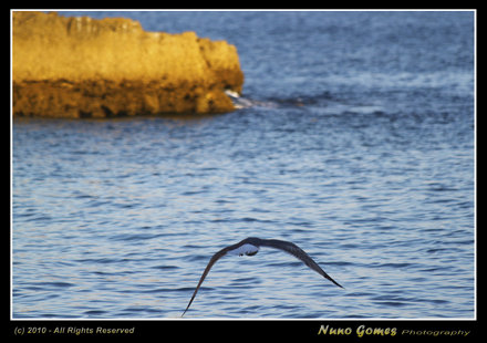 Algarve - Gaivotas - Seagulls-017