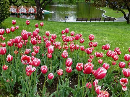 Wet tulips, Public Garden