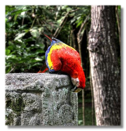 Copan HN - Hellroter Ara - Ara macao - Scarlet Macaw 04