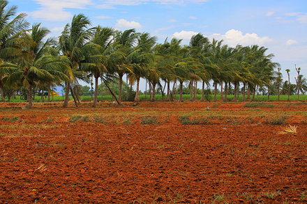 Kallakurichi Coconut Trees and Red Soil