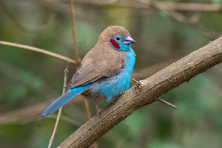 Red-cheeked Cordonbleu - Rift Valley - Kenya CD5A7232