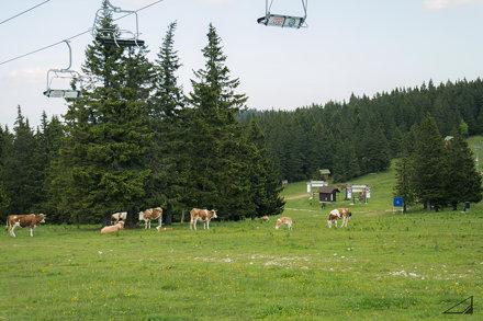 easy cows