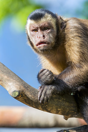 Capuchin monkey looking at me